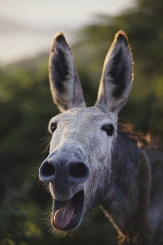 Close view of a braying donkey.
