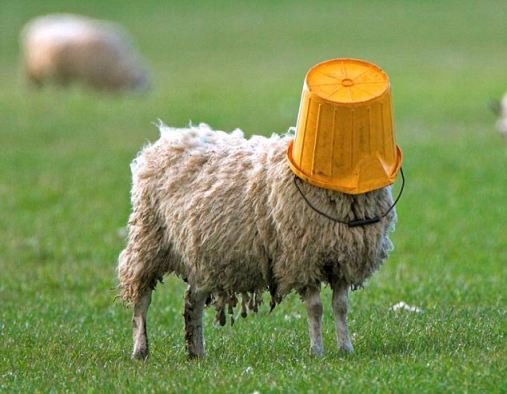 SHEEP GETS BUCKET STUCK ON HEAD