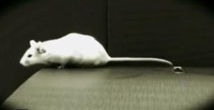 genetics myth mouse 2