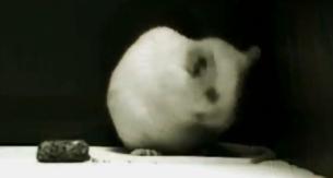 genetics myth mouse