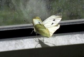 Butterfly trapped in window